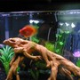 freshwater fish - heros severus x amphilophus citrinellum - blood parrot stocking in 55 gallons tank - Blood Parrot