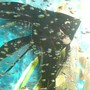 freshwater fish - pterophyllum sp. - black veil angel stocking in 50 gallons tank - black angel