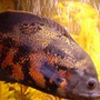 freshwater fish - astronotus ocellatus - tiger oscar stocking in 75 gallons tank - Lucky my Oscar