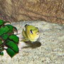 freshwater fish - labidochromis caeruleus - electric yellow cichlid stocking in 63 gallons tank - Yellow Labido - Female