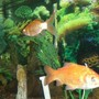 freshwater fish - carassius auratus - goldfish stocking in 75 gallons tank - goldfish swimming