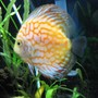 freshwater fish - symphysodon spp. - pigeon blood discus stocking in 55 gallons tank - Pigeon Blood Discus