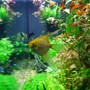 freshwater fish - pterophyllum sp. - gold veil angel stocking in 77 gallons tank - image 3