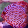 freshwater fish - symphysodon spp. - red turquoise discus stocking in 38 gallons tank - another red turquoise