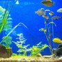 freshwater fish - labidochromis caeruleus - electric yellow cichlid stocking in 6 gallons tank -