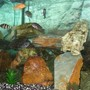freshwater fish - neolamprologus sexfasciatus - gold sexfasciatus cichlid stocking in 53 gallons tank - My Mbuna Cichlids!!!