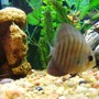 freshwater fish - symphysodon aequifaciatus axelrodi - brown discus stocking in 150 gallons tank - Brown Discus