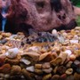 freshwater fish - corydoras paleatus - peppered cory cat stocking in 45 gallons tank - Peppered Cory