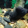 freshwater fish - carassius auratus - black moor goldfish stocking in 55 gallons tank - Boobler, the Black Moor