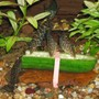 freshwater fish - botia lohachata - yoyo loach stocking in 320 gallons tank - Yoyo Loaches having a snack