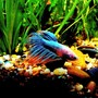 freshwater fish - betta splendens - crown tail betta stocking in 56 gallons tank - Betta Splenden Sad Fighter
