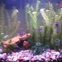 freshwater fish - paracheirodon innesi - neon tetra jumbo stocking in 26 gallons tank - View from further back.