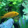 freshwater fish - labidochromis caeruleus - electric yellow cichlid stocking in 90 gallons tank - Electric Yellow Labidos