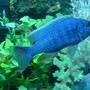 freshwater fish - sciaenochromis fryeri - electric blue hap stocking in 90 gallons tank - ELECTRIC BLUE