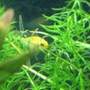 freshwater fish - papiliochromis ramirezi - german gold ram stocking in 40 gallons tank - My new German Gold Ram