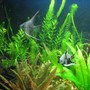 freshwater fish - pterophyllum sp. - koi angel stocking in 40 gallons tank - my 2 new baby angels