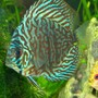 freshwater fish - blue turquoise discus stocking in 300 gallons tank - blue turq discus