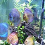 freshwater fish - symphysodon spp. - neon blue discus stocking in 100 gallons tank - All of my discus