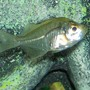 freshwater fish - parambassis ranga - indian glassfish stocking in 30 gallons tank - this is my glass fish