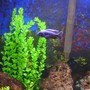 freshwater fish - sciaenochromis fryeri - electric blue hap stocking in 60 gallons tank - electric blue