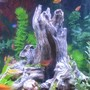 freshwater fish - poecilia latipinna - golden sailfin molly stocking in 55 gallons tank - our 55 gallon tank. Variety of fish with all plastic plants. We recently changed from gravel to sand and LOVE the ease of cleaning and the fish love it too.