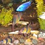 freshwater fish - botia macracantha - clown loach stocking in 180 gallons tank - Clown loaches,electric blue, and a Kendali