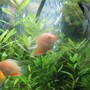 freshwater fish - heros serverus - gold severum stocking in 200 gallons tank - Some growing gold severums and angels