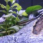 freshwater fish - crossocheilus siamensis - siamese algae eater stocking in 16 gallons tank - Siamese Algae Eater Standing By