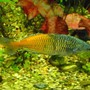 freshwater fish - melanotaenia boesemani - boesemani rainbow stocking in 75 gallons tank - Boesmani rainbows