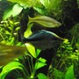 freshwater fish - melanotaenia herbertaxelrodi - axelrodi rainbow stocking in 75 gallons tank - rainbows and trees and plants omy.