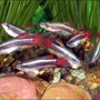 freshwater fish - tanichthys albonubes - long fin white cloud stocking in 30 gallons tank - Meteor Minnows
