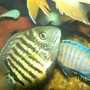 freshwater fish - heros serverus - green severum stocking in 150 gallons tank - green severum