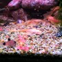 freshwater fish - corydoras panda - panda cory cat stocking in 60 gallons tank - Feeding time