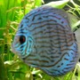 freshwater fish - symphysodon aequifasciata - royal blue discus stocking in 135 gallons tank