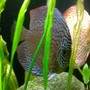 freshwater fish - symphysodon spp. - pigeon blood discus stocking in 135 gallons tank - Ring Leopard/Pigeonblood Pair Discus