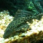 freshwater fish - hypostomus plecostomus - common pleco stocking in 55 gallons tank - common Pleco(Hypostomus plecostomus )...coming up on 5 inches now! very happy in the 55....beautiful fish...