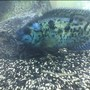 freshwater fish - nandopsis octofasciatum - electric blue jack dempsey stocking in 75 gallons tank - One of my EBJDs