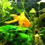 freshwater fish - carassius auratus - goldfish stocking in 52 gallons tank - the common goldfish