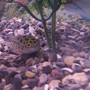 freshwater fish - tetraodon nigroviridis - green spotted puffer stocking in 55 gallons tank - Green Spotted Puffer. Brackish water. 1 y/o SG is approx 1.012