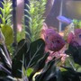 freshwater fish - hemichromis bimaculatus - jewel cichlid stocking in 55 gallons tank - Jewel Cichlid
