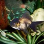 freshwater fish - carassius auratus - black oranda goldfish stocking in 72 gallons tank - Black Oranda