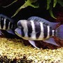 freshwater fish - cyphotilapia frontosa - frontosa cichlid stocking in 5 gallons tank