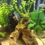 freshwater fish - metriaclima lombardoi - kenyi cichlid stocking in 60 gallons tank - Kenyi Cichlid eating algae off drift wood.