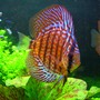 "freshwater fish - symphysodon spp. - red turquoise discus stocking in 46 gallons tank - ""Max"" - Red Spotted Green Discus - 2.5"""
