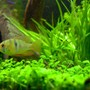 "freshwater fish - papiliochromis ramirezi - german blue ram stocking in 46 gallons tank - ""Josie"" - Brazilian Ram - female"