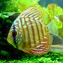 "freshwater fish - red spotted green discus stocking in 46 gallons tank - ""Tank"" - Red Spotted Green Discus - 1.5"". This little guy thinks he rules the aquarium. He tries to chase all the other discus, who are up to more than twice his size!"