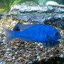 freshwater fish - cyrtocara moorii - moorei cichlid stocking in 140 gallons tank - Blue Dolphin cichlid