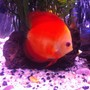 freshwater fish - symphysodon sp. - royal red discus stocking in 50 gallons tank - Discus