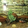 freshwater fish - thorichthys meeki - firemouth cichlid stocking in 75 gallons tank - Salvini & Firemouth