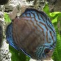 freshwater fish stocking in 55 gallons tank - Medium Schmidt-Focke Striated Turquoise Discus